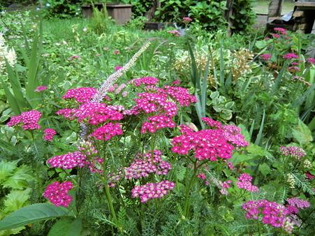 庭に咲く花 ノコギリソウ