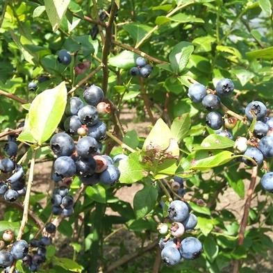 【夏休み♪収穫体験】新鮮で栄養たっぷり!!ブルーベリー摘み<夏のビュッフェプラン>