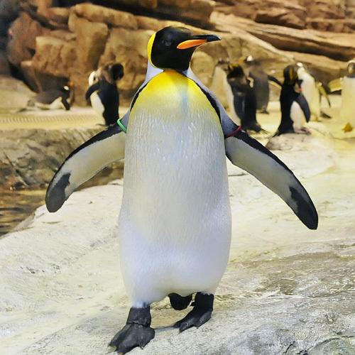 キングペンギン 海響館