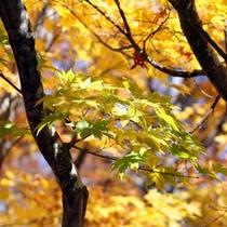 黄金色の秋♪上ノ平高原の紅葉