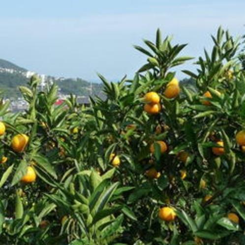 宇佐美オレンジロード◆その名の通りみかん園が軒を連ねています