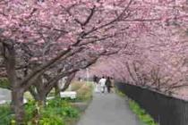 2月河津桜
