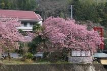敷地内の河津桜
