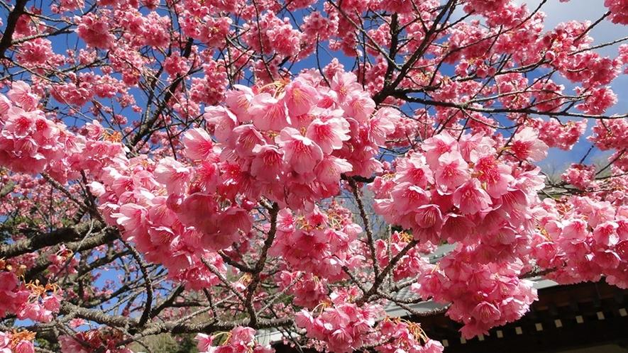 早ければ1月には咲き始める 早咲きの桜「土肥桜」