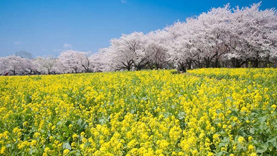 毎年2月に開催される「河津桜まつり」河津桜の濃いピンクと菜の花のコントラストが見事!