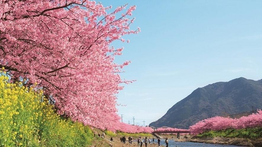 伊豆の早春の風物詩「河津桜まつり」毎年多くの人でにぎわいます