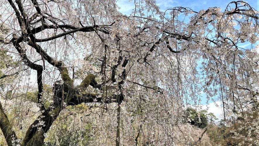 京都御所の枝垂桜