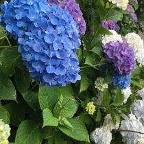 6月 下田あじさい祭り