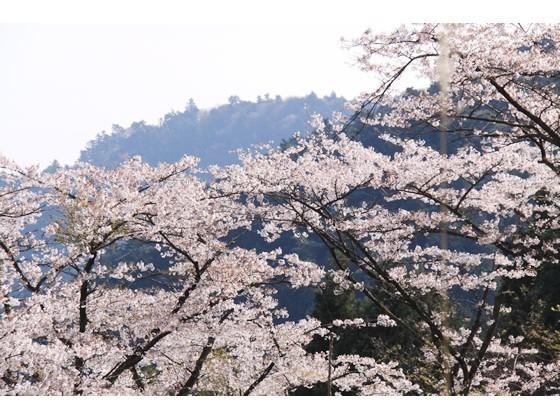 高尾山【春】 さくら