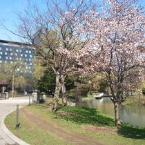 やっと桜が満開になりました。中島公園(春・2013)