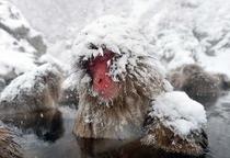 雪の中のsnow  monkey