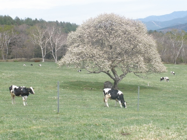 清里高原の春3