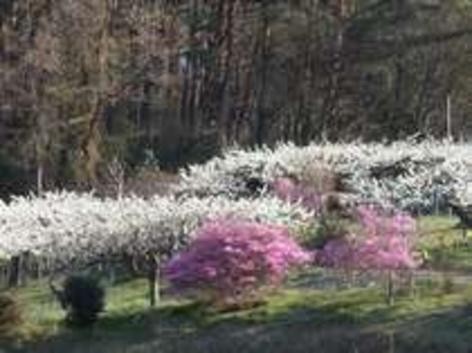 プラムと桃の花