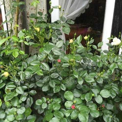 開花間近の薔薇