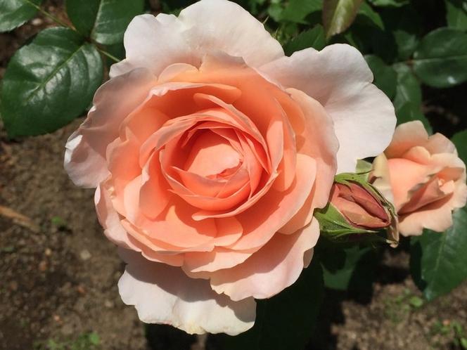 可憐な薔薇