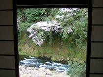 お部屋からの山桜