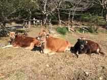 ジャージー牛牧場