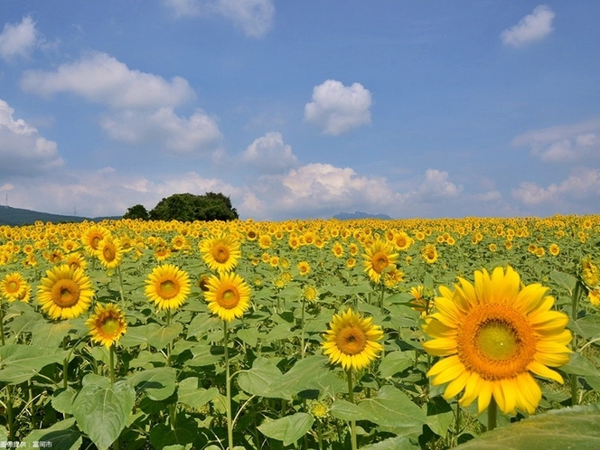 丹生湖ひまわり畑