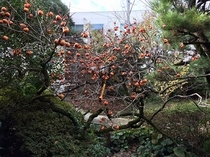 渡り廊下柿
