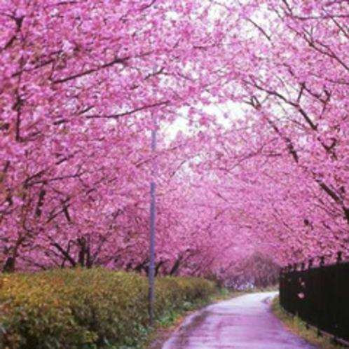 【河津桜祭り】2〜3月に行われるお祭りには毎年多くの人々が訪れ、イベントや出店などで賑わいます