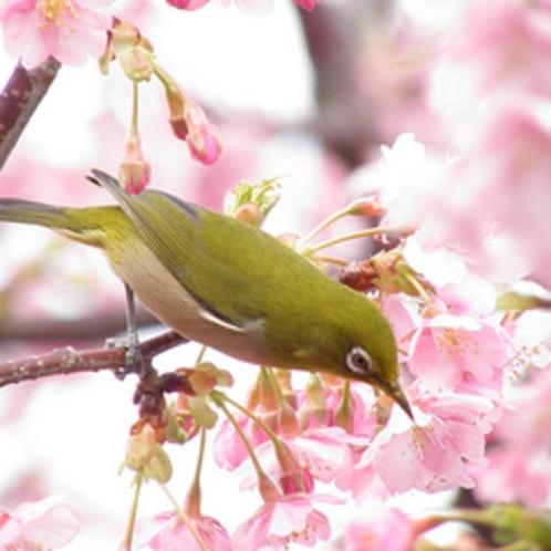 【河津桜シーズン】1月下旬〜2月に花をつける河津桜。一足早く春の訪れを楽しめ、花期が長いのも魅力