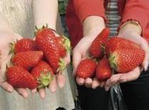 イチゴ狩りシーズン真っ最中!
