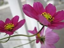 春なのにコスモスが咲くときがあります。