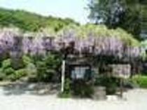 林泉寺の藤棚、この下で、お弁当を食べたいな!
