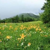 7月上旬から8月中旬頃、湿原一面に咲き乱れます。