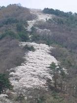 光城山の桜
