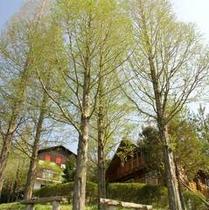 【ログハウス・コテージ周辺】新緑の季節はメタセコイアが綺麗ですよ