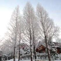 【ログハウス・コテージ周辺】冬にはメタセコイヤの林が、雪色によく似合います♪