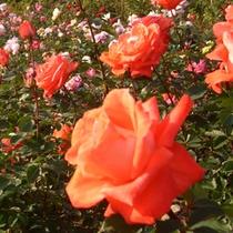 とっとり花回廊 バラ