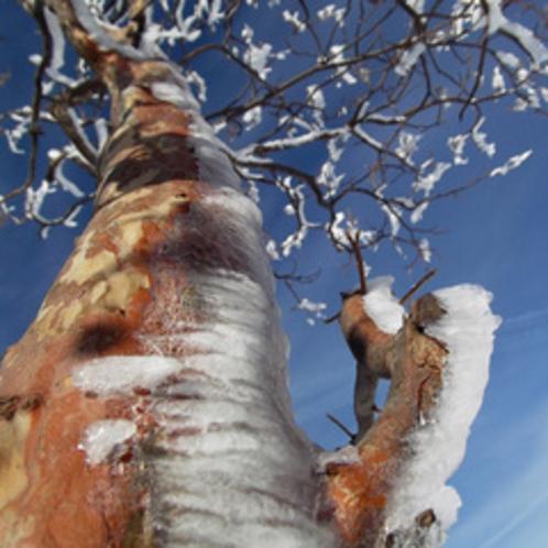 冬の朝「樹氷」