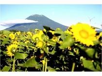 季節:羊蹄山とひまわり
