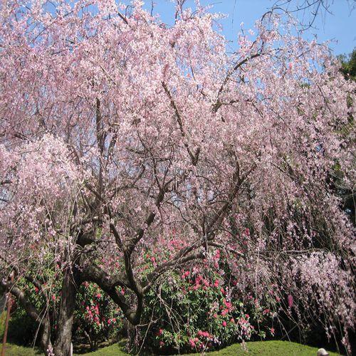 荒井城址公園のしだれ桜