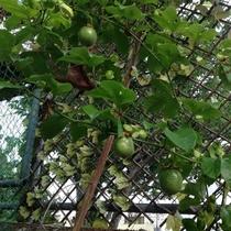 敷地内 パッションフルーツ