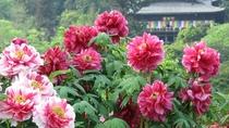 *【奈良・長谷寺のぼたん】「花の寺」にふさわしい美しいボタンがご覧いただけます(5月上旬頃)