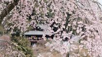 *【奈良・長谷寺の桜】3月中旬~4月中旬において数種の桜が咲き誇ります。