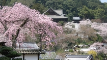 *【奈良・長谷寺の桜】県内有数の桜スポットでお花見をお楽しみ下さい