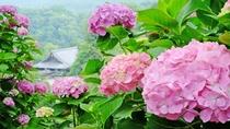 *【奈良・長谷寺のあじさい】シーズンは6月中旬~7月中旬まで!