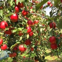 時期によって違う、様々な品種のりんごをお楽しみ下さい☆