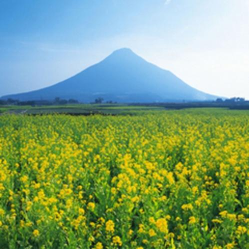 鮮やかな黄色の菜の花と開聞岳