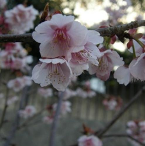【冬】 早咲きの熱海桜がお楽しみ頂ける(1月末〜2月)