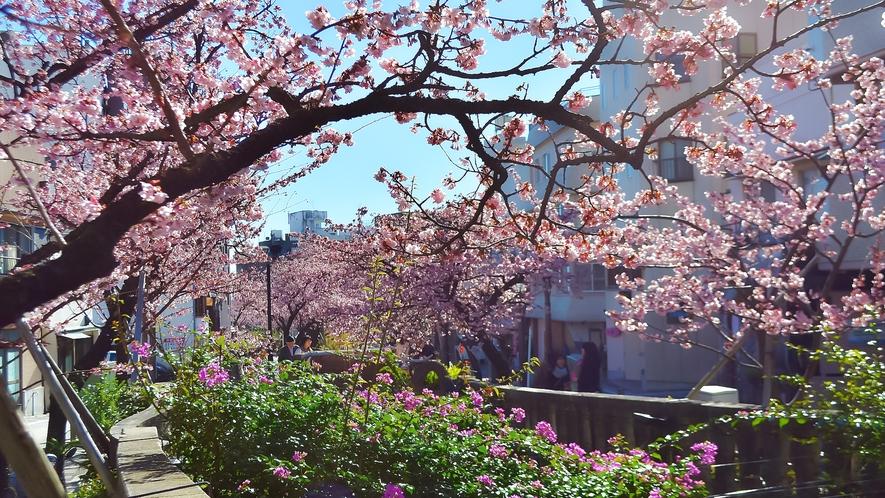 熱海の早咲き熱海桜