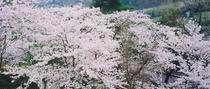 当館の裏山「城山」に咲く桜