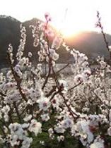 一目10万本。日本一の杏の里「森」の風景