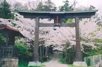当館の裏にある「はべしな神社」の桜
