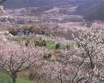 一目10万本。日本一の杏の里「森〜倉科」の風景