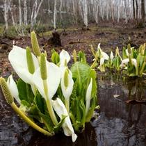 *【周辺(夏)】高山植物の代表花ミズバショウもきれいに咲き誇ります。